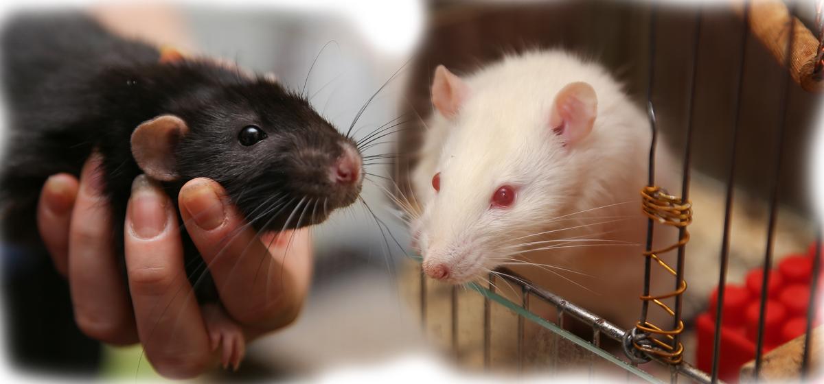 «Если крыса в доме – год будет благополучным». Жители Барановичей рассказали о своих питомцах и чего ждать от символа 2020 года