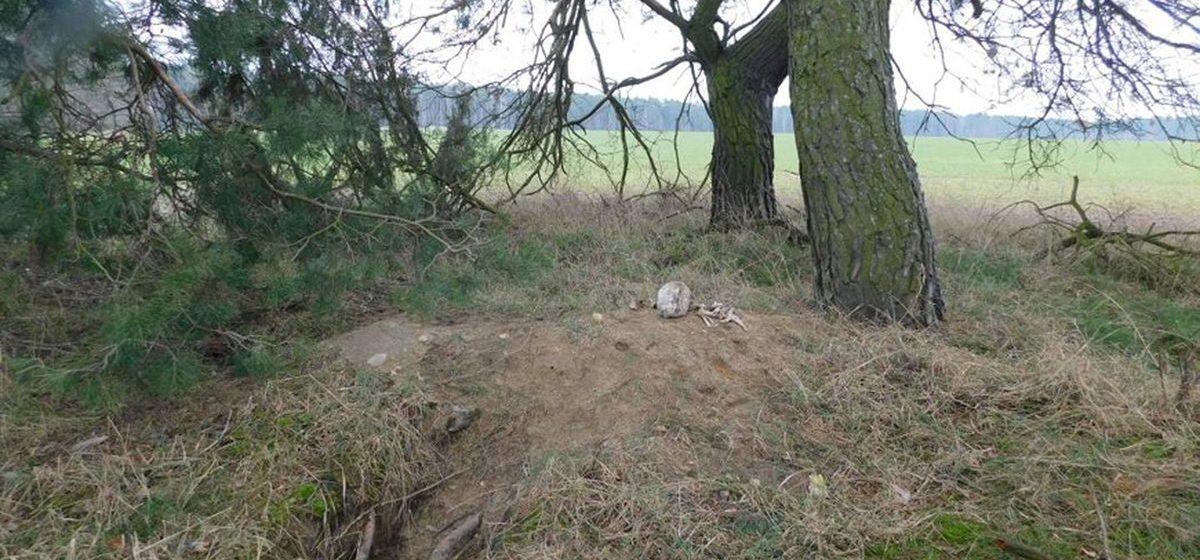 Лиса откопала костные останки из массового захоронения жертв войны в Брестском районе