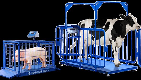 Весы для скота