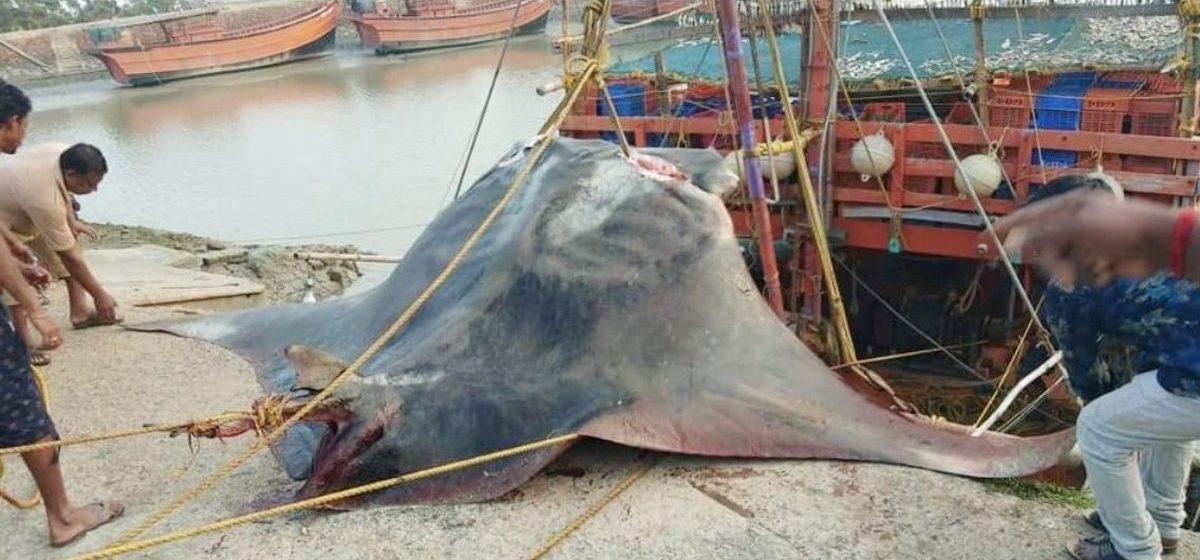 Индийские рыбаки выловили гигантского 900-килограммового ската