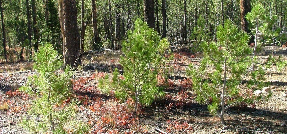 Акция по уборке и высадке леса пройдет в Барановичском районе. Помочь может каждый