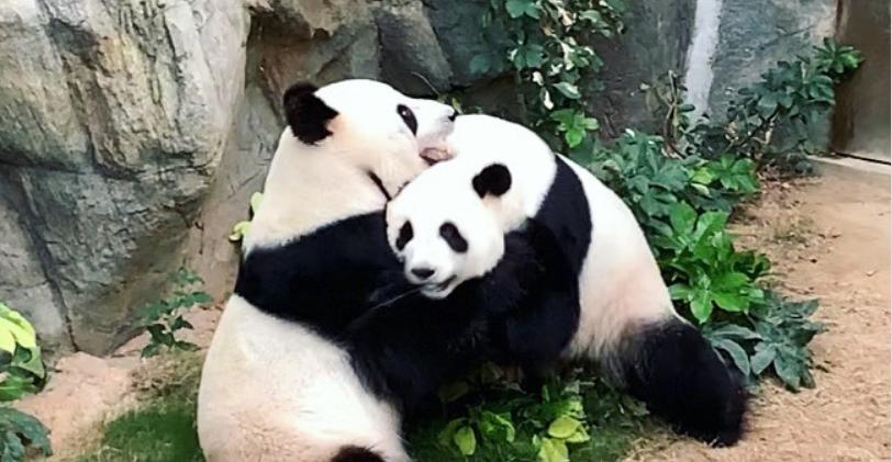 Помогла пандемия. В зоопарке Гонконга панды спарились впервые за 9 лет совместной жизни. Все из-за отсутствия людей