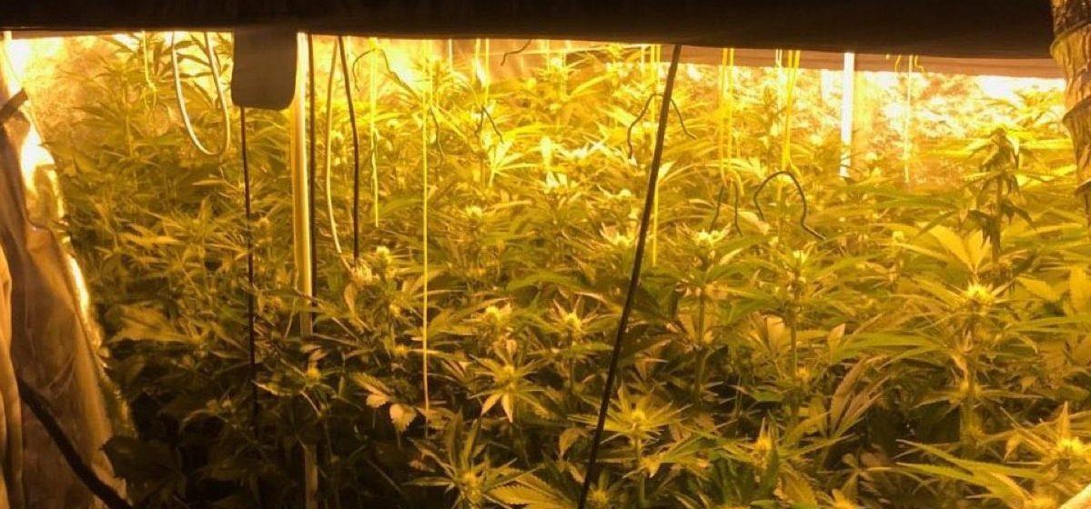 В Минске сотрудники наркоконтроля «накрыли» большую лабораторию по изготовлению марихуаны
