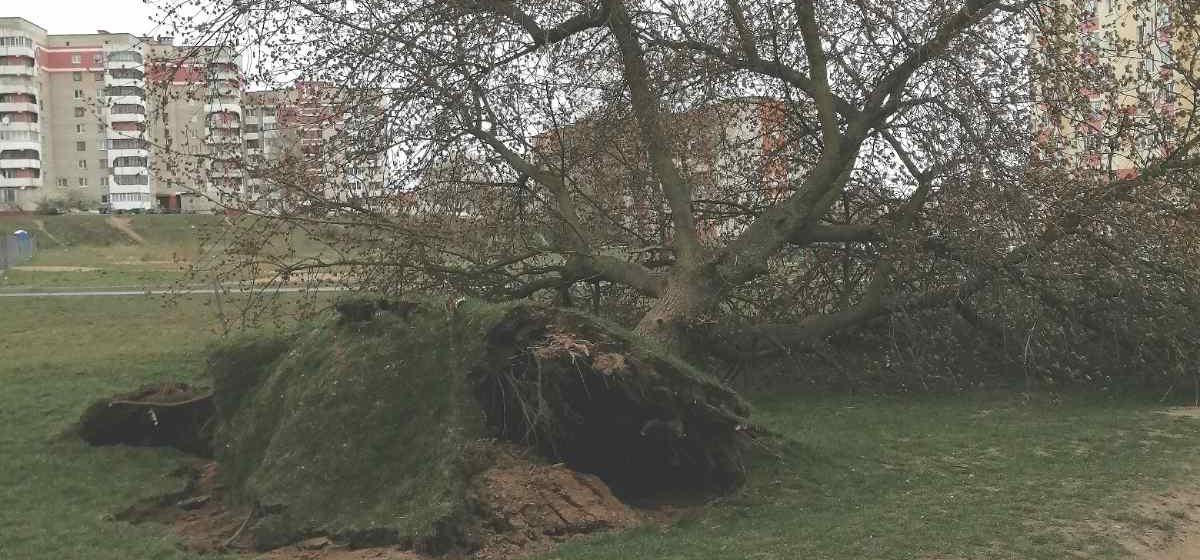 Ветер вырвал с корнем большое дерево в Барановичах. Фотофакт
