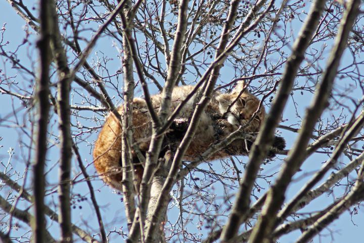 Белорусским ученым удалось получить редкие кадры спящей на дереве рыси в Налибокской пуще. Фотофакт