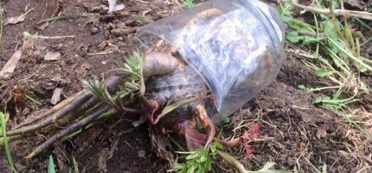 Мужчина и 10-летняя девочка погибли, отравившись ядовитым растением в Могилевской области