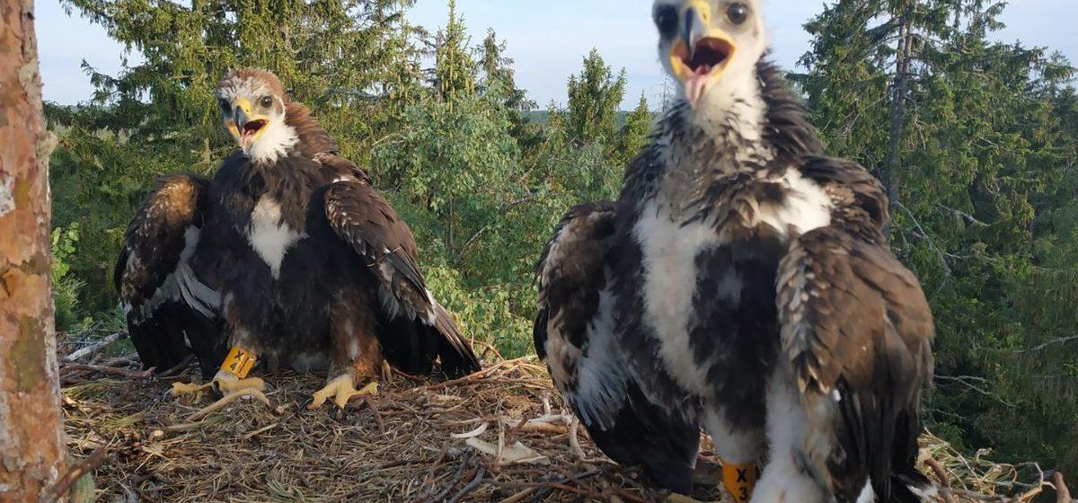 Впервые за пять лет в Беларуси нашли гнездо с птенцами беркута. Смотрите, какие они милые