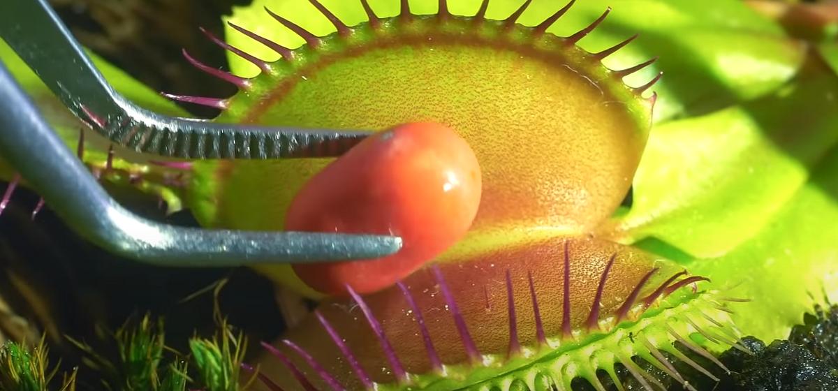 Что произойдет, если хищное растение кормить колбасой, конфетами и своим пальцем. Видео