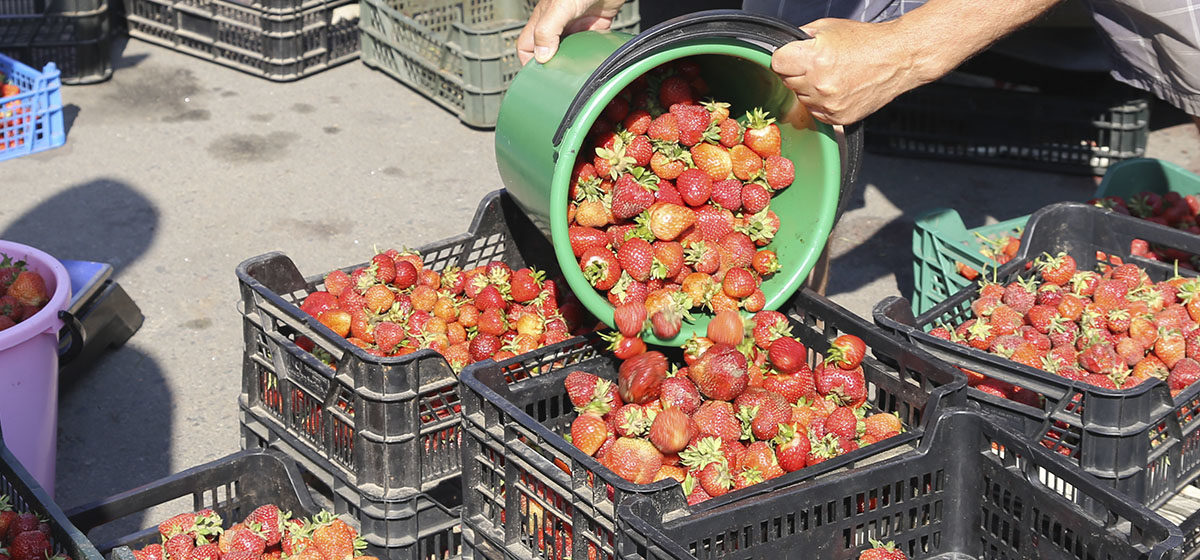 В РФ раздавили две тонны клубники из Беларуси