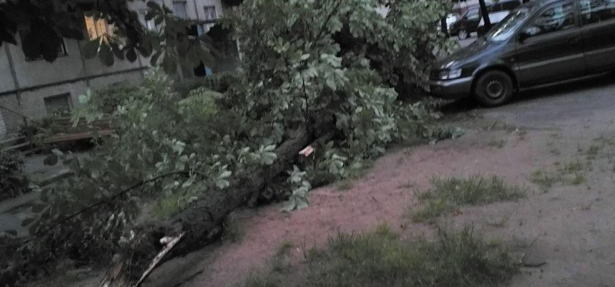 Дерево, упавшее из-за порыва ветра. Фото: Ксения РОГАЦЕВИЧ