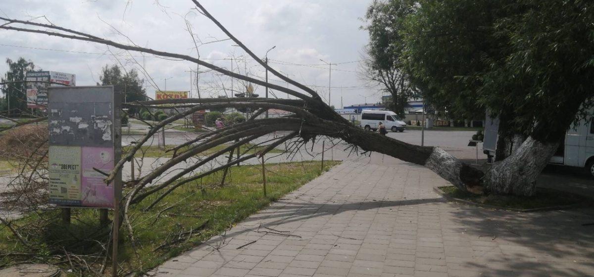 Фотофакт. В Барановичах дерево упало на тротуар