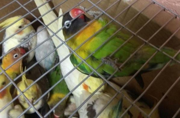 На белорусско-украинской границе задержали 500 попугаев. Фотофакт