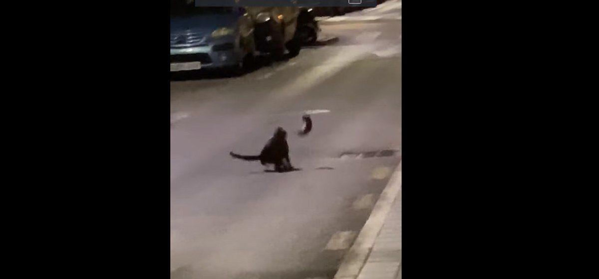 Бездомный кот напал на ниндзя-крысу. Славная получилась битва. Видео