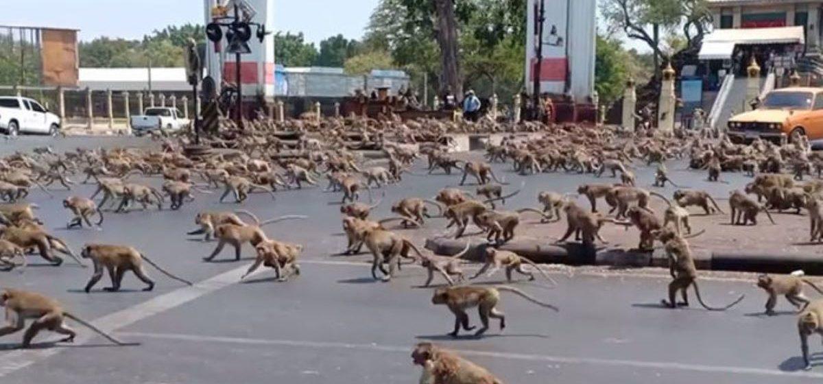 Тысячи голодных обезьян захватили город в Таиланде. Макаки громят витрины и нападают на людей, бессильна даже полиция