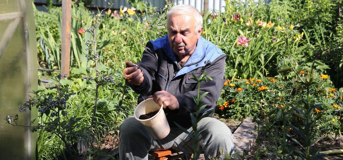 Какие ошибки допускают садоводы при выращивании голубики