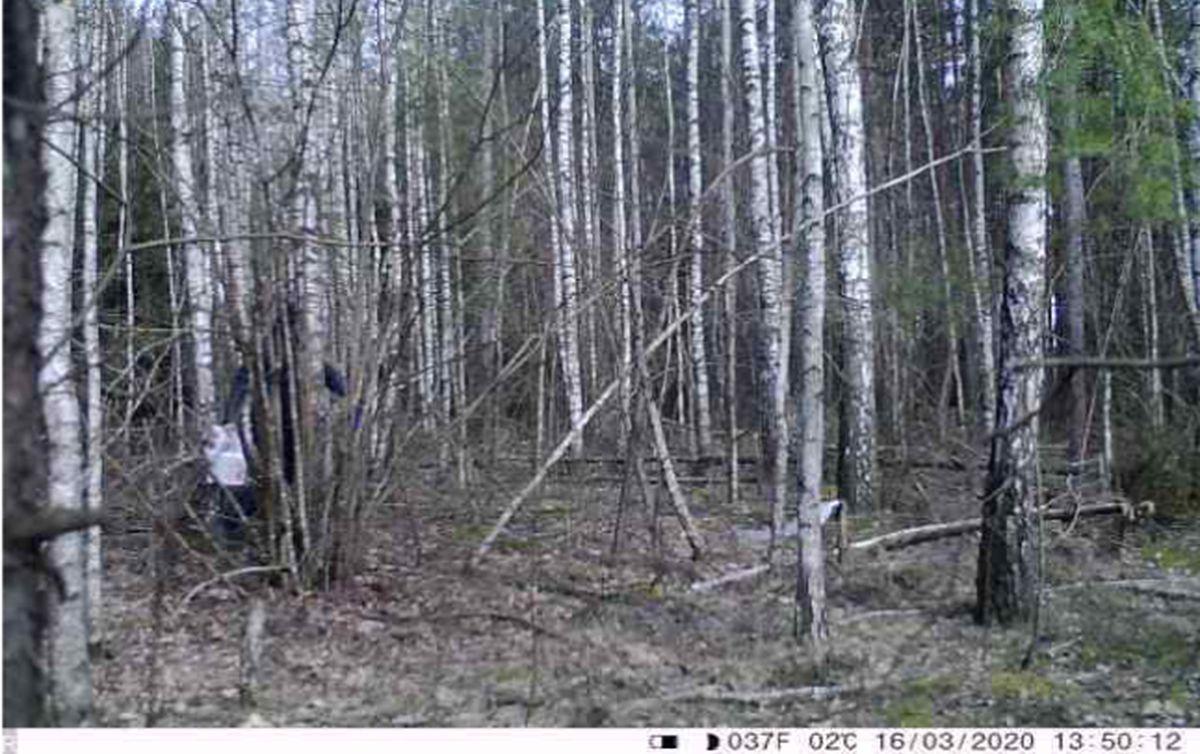 Нарушитель грузит в машину самовольно установленные мешки для сбора березового сока. Фото: Александр СЕЛИВОНЧИК.
