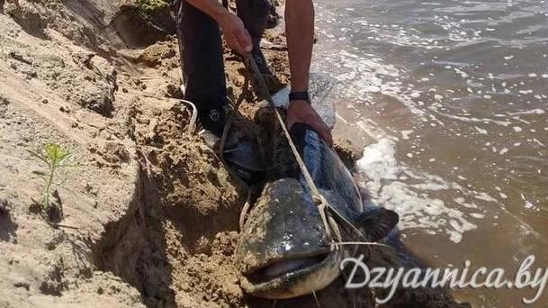 Три рыбака с трудом вытащили 40-килограммого сома в Щучинском районе