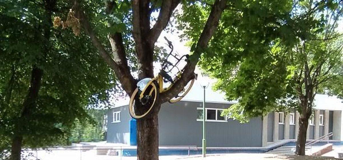 Вандалы забросили прокатный велосипед на дерево в Барановичах. Фотофакт