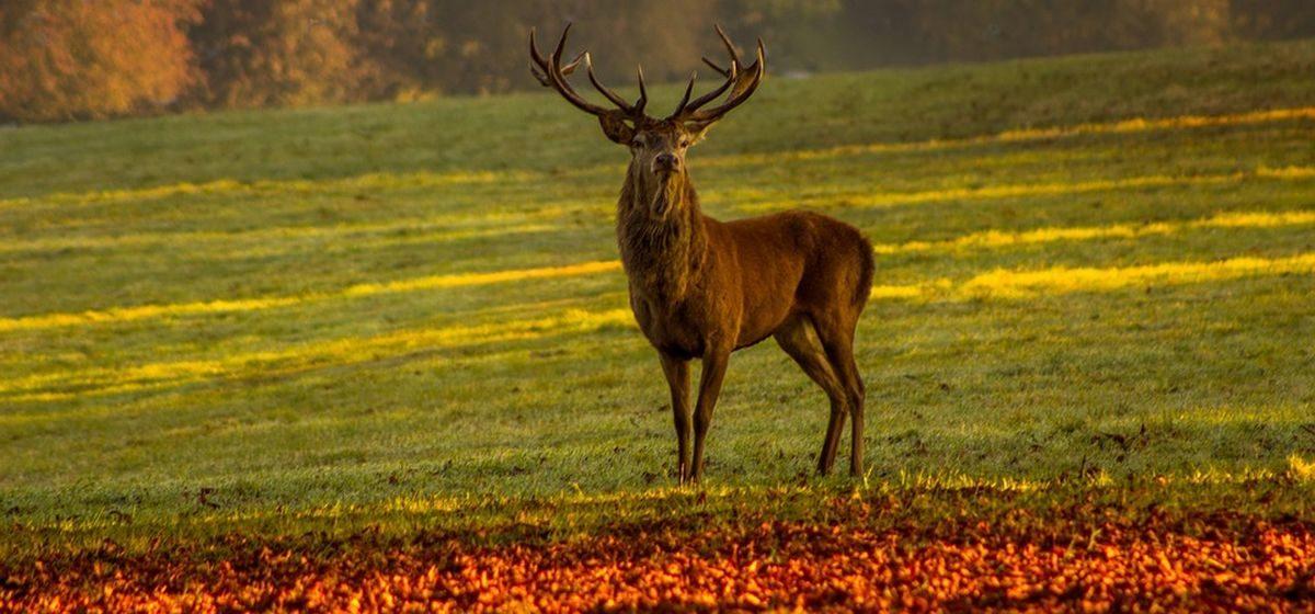 С 20 августа откроется сезон охоты на оленей и лосей