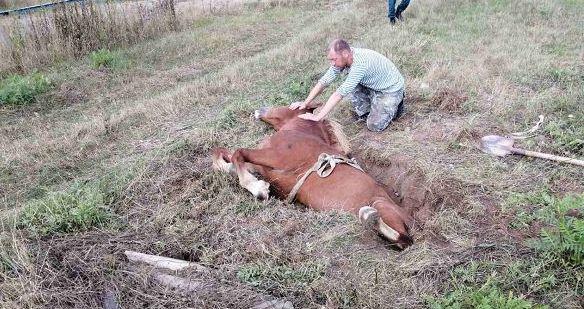 Под Ляховичами лошадь упала в яму. Доставали ее спасатели. Фотофакт