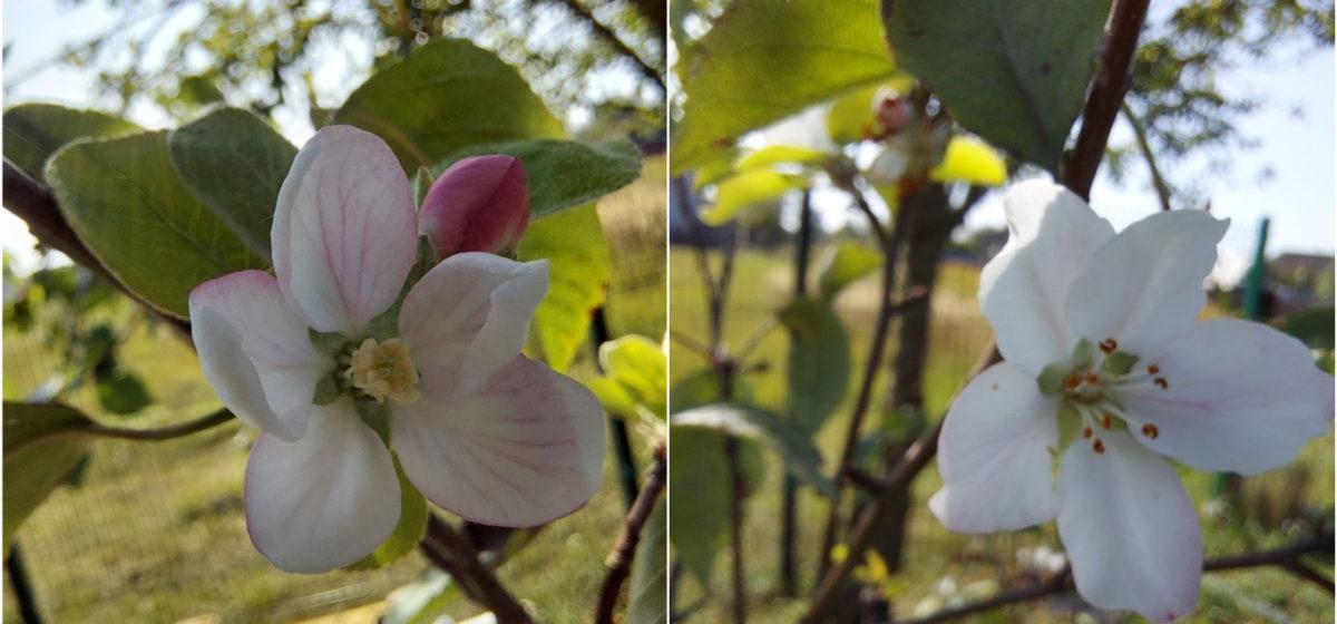В Барановичах в середине сентября зацвела яблоня. Фотофакт