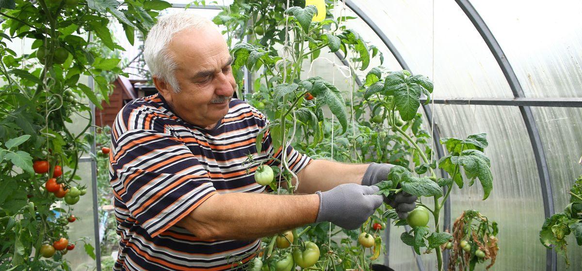 Почему на помидорах появляется фитофтора и как с ней бороться