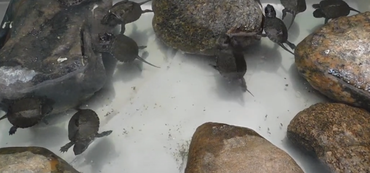 В Гродненском зоопарке впервые за 30 лет родились болотные черепахи. Трогательное видео