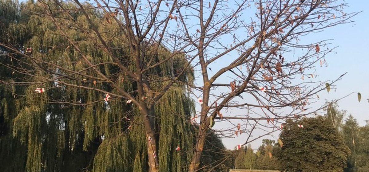 Дерево в Барановичах украсили бело-красно-белыми ленточками. Фотофакт