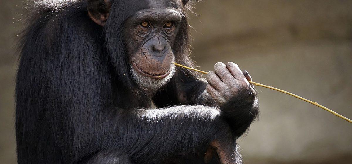 Студент проснулся без айфона. Оказалось, устройство стащила обезьяна — преступника разоблачили по селфи