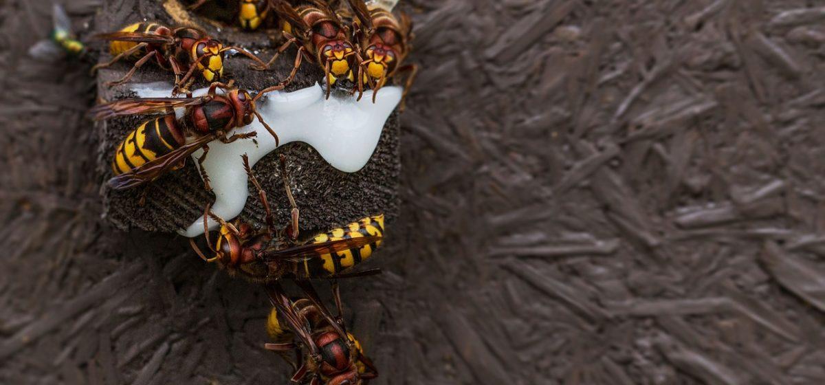 Как спасатели ликвидируют гнезда ос и шершней в Барановичах. Фото
