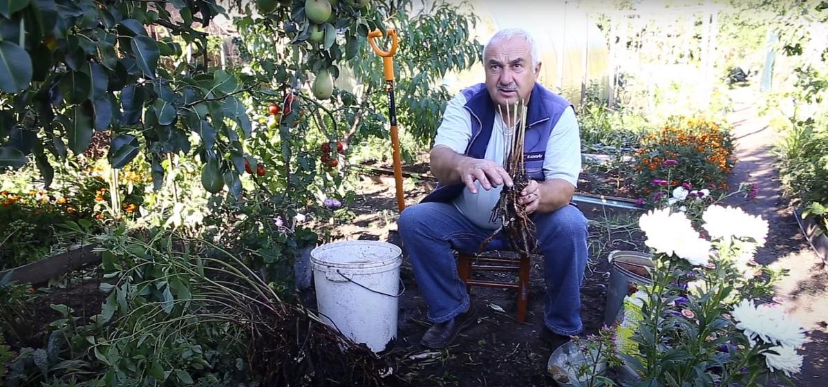 Размножение пионов: почему нельзя делить куст лопатой