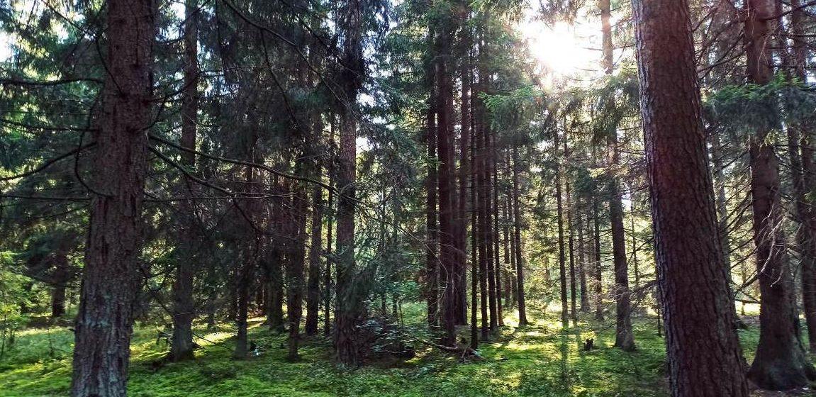 Вторые сутки не могут найти мужчину, который ушел в лес за грибами в Ляховичском районе