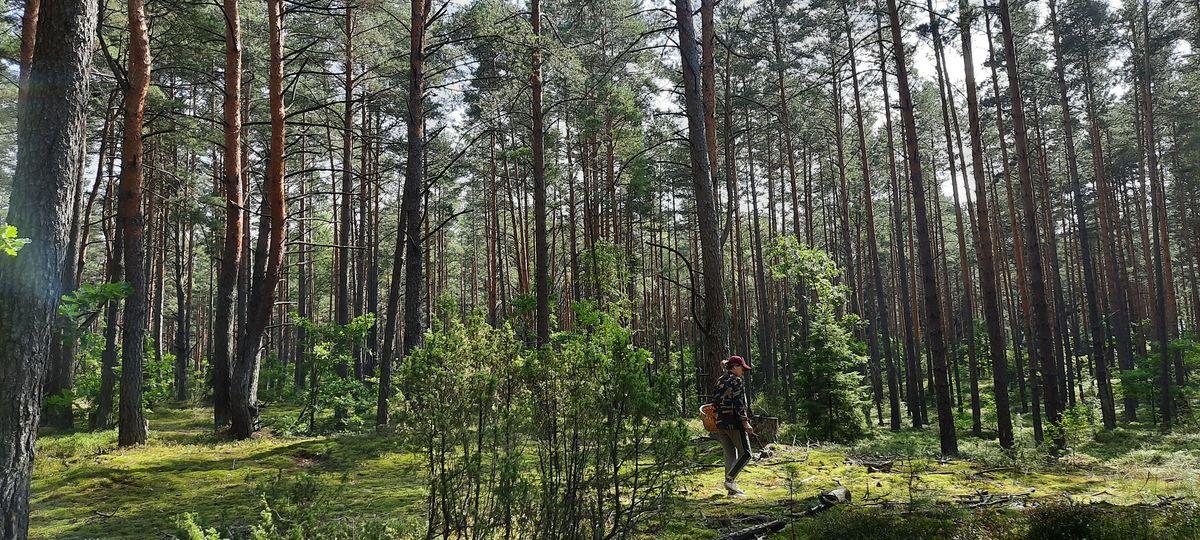 Янина Капцевич в поисках грибов в Лесной. Фото: Александра РАЗИНА
