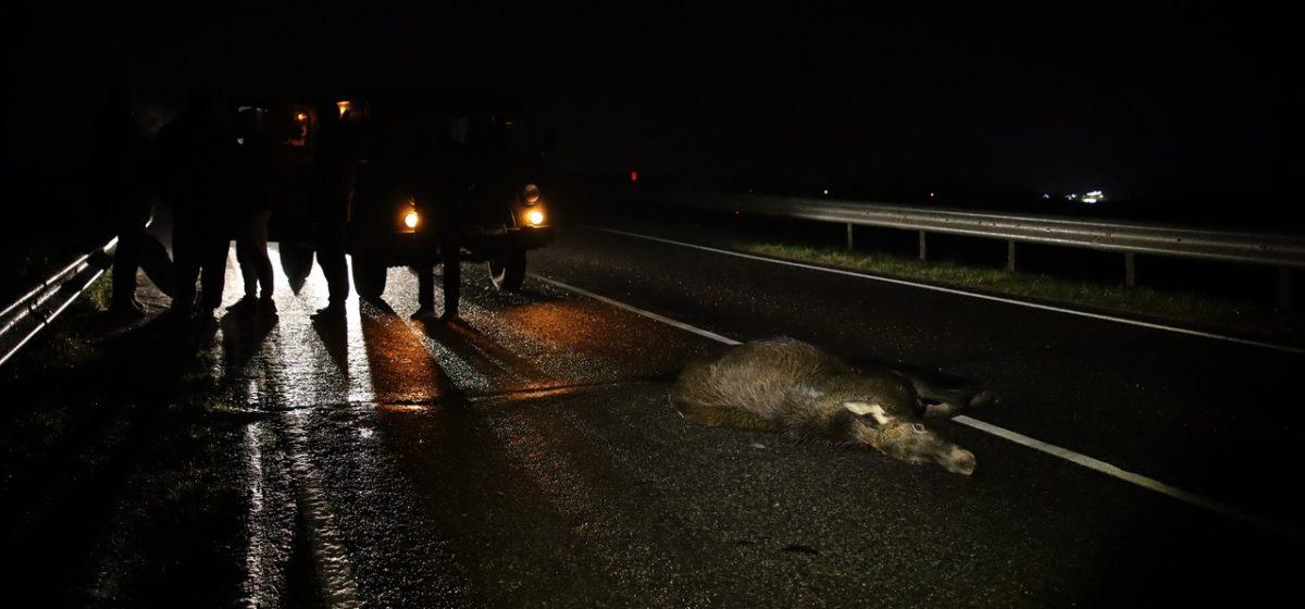 Автомобиль «УАЗ» сбил лося под Барановичами. Фото 18+