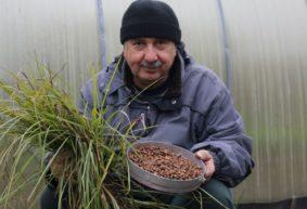 Чуфа: полезный «орех» с миндальным вкусом из сорной травы
