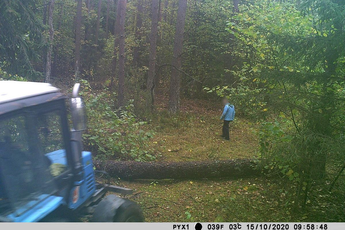 Житель Барановичей незаконно срубил 20 сосен. Фото: Александр СЕЛИВОНЧИК