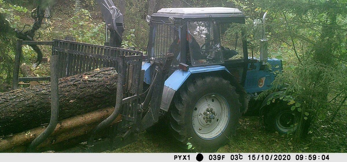 Житель Барановичей незаконно срубил 20 сосен и попал в объектив фотоловушки