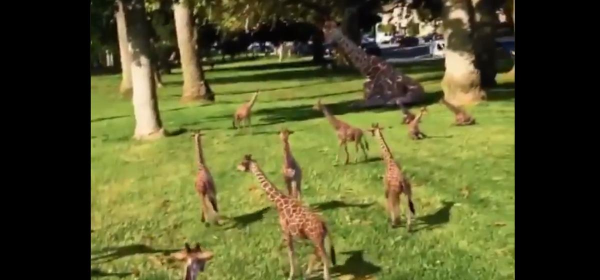 А вы знаете, как выглядят маленькие жирафы? Видео с выводком жирафят взорвало интернет