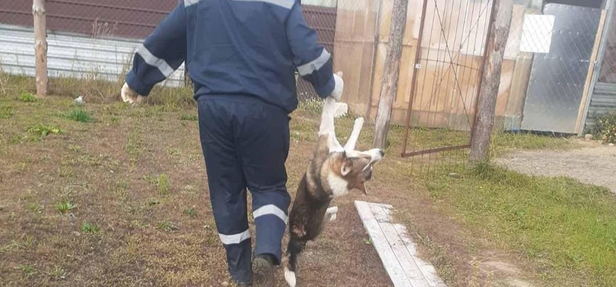 «Животных тянули за хвосты и лапы, чтобы погрузить в авто». Что произошло с собаками, жившими на стройке в Боровках. Жесткое видео