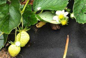 Клубника начала плодоносить в октябре на грядке у жительницы Барановичей. Фотофакт