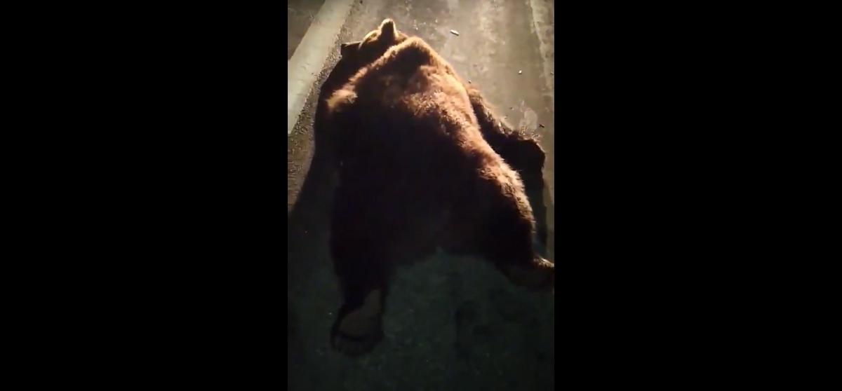 Легковой автомобиль сбил медведя в Витебской области. Видео 18+