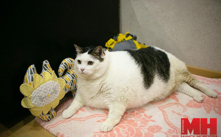 Как выглядит самый толстый кот в Беларуси. Фото