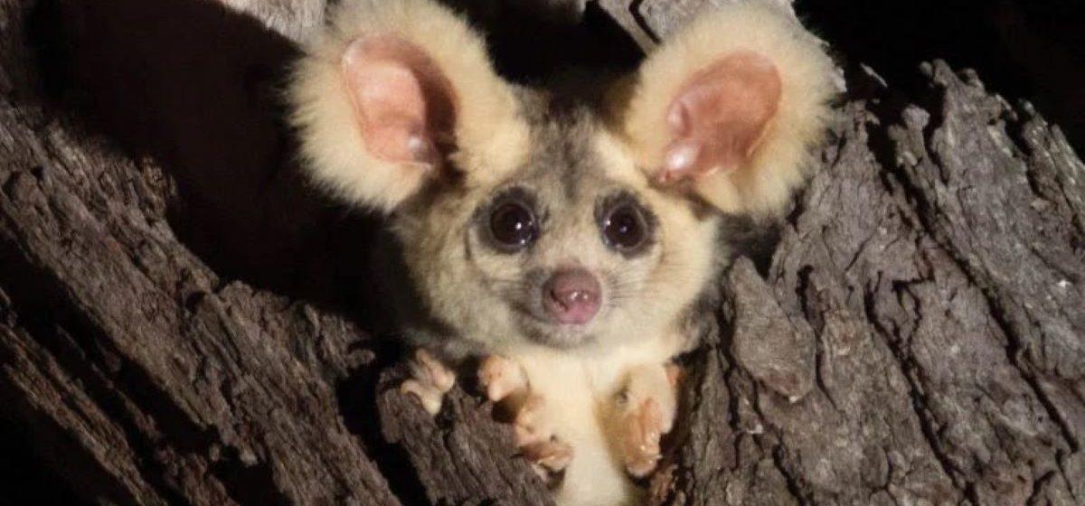 В Австралии обнаружили два новых вида млекопитающих. И это — глазастые улыбчивые ушастики