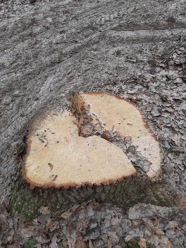 Спиленное дерево на территории памятника природы в Ястрембеле. Фото: Владимир ЗУЕВ