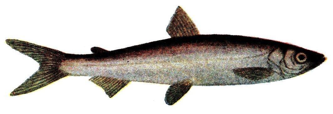 С 20 декабря снимается запрет на ловлю одного вида рыб
