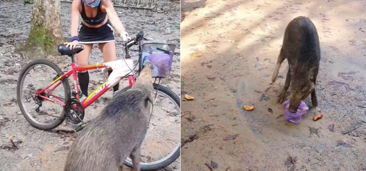 Дикий кабан «напал» на велосипедистку в Сингапуре. Животное отобрало у девушки слойки с карри и убежало. Видео