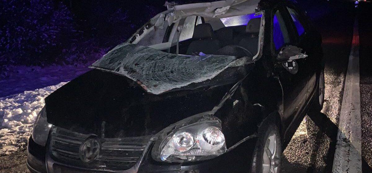 Автомобиль «Фольксваген» сбил лося в Ивацевичском районе. От удара туша лося буквально снесла крышу в машине