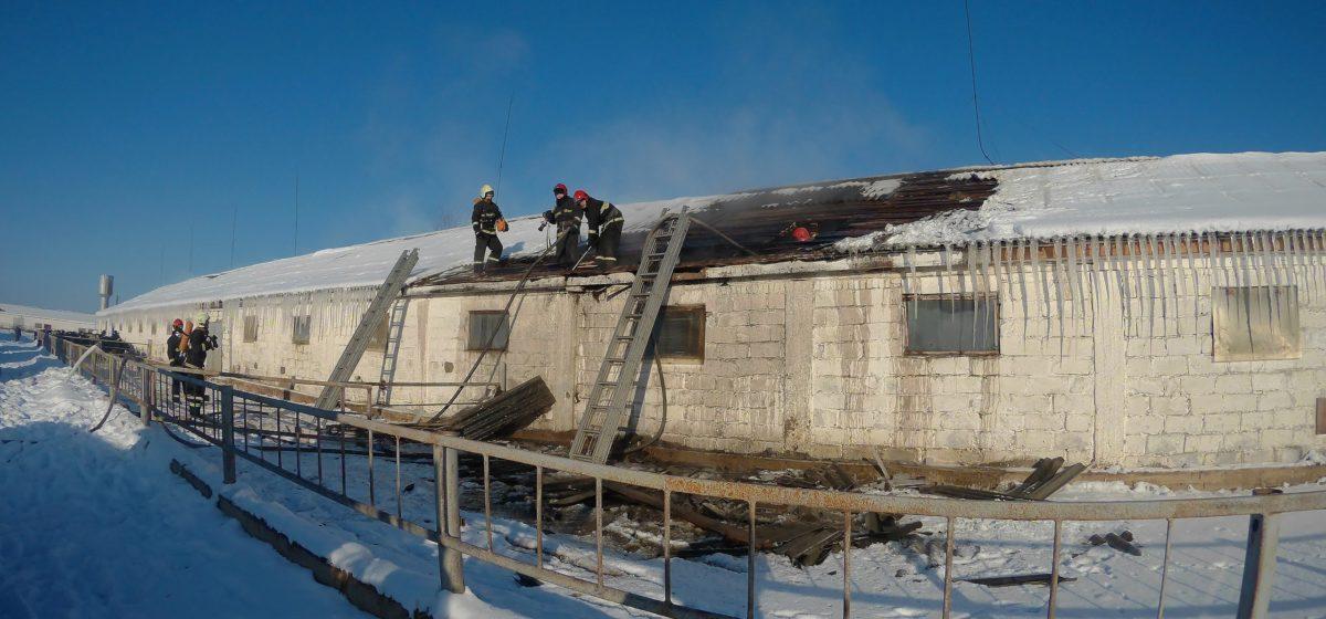 Телятник горел под Барановичами. Эвакуировали 190 телят