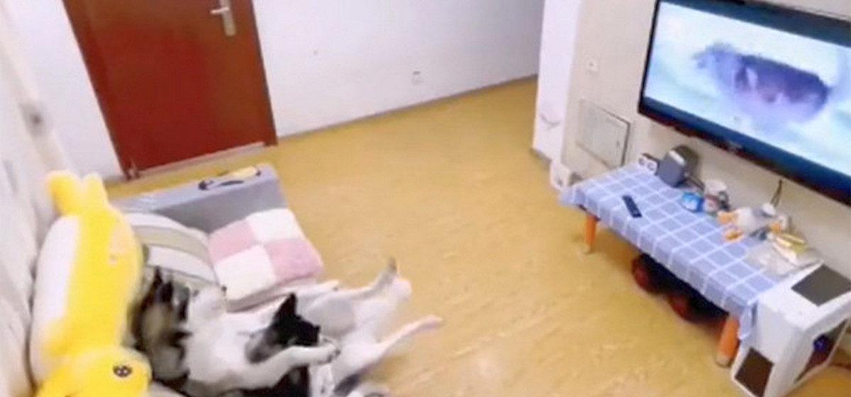 Две хаски смотрели телевизор, но тут вернулся хозяин и им пришлось срочно приняться за уборку. Видео стало вирусным