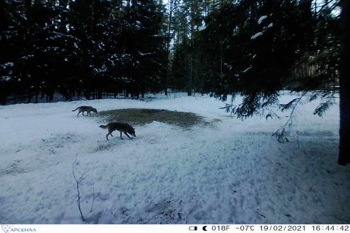 Снимок волков на одной из фотоловушек в барановичских лесах. Фото: Геннадий БИЗЕВ